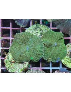 Rhodactis inchoata green...