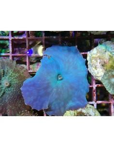 Discosoma coeruleus blue...