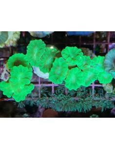 Caulastrea curvata (3 головы)