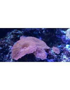 Blue Spotted Red Discosoma...