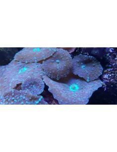 Discosoma marmoratus (1 gb)