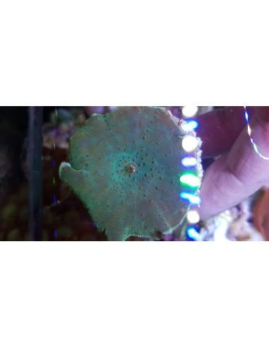 Red Spotted Green Discosoma (per ear)