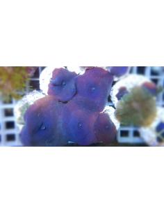 Discosoma coeruleus blue (1...