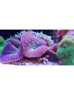 Rhodactis inchoata purple...