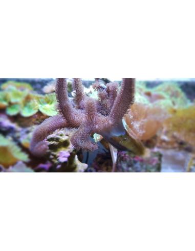 Sinularia polydactyla