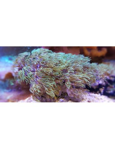 Pachyclavularia