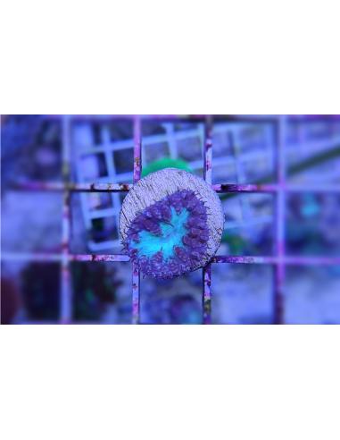Blastomussa wellsi green