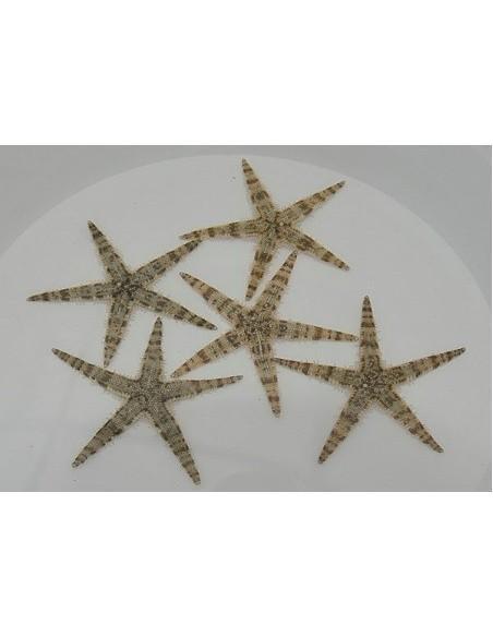 Sea stars and brittle stars