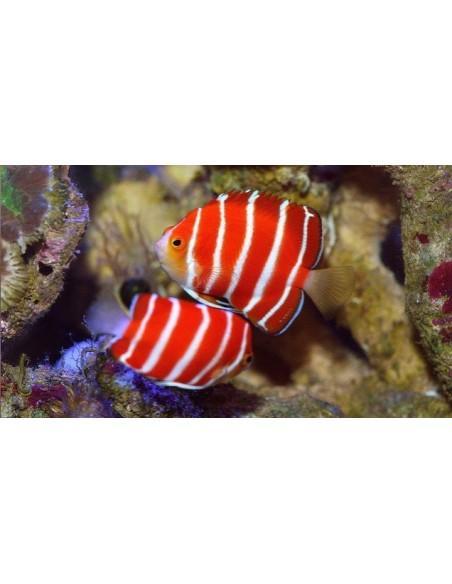 Angelfish Dwarf